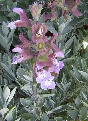 Salvia dolomitica, South African sage (Suncrest Nurseries, Inc)