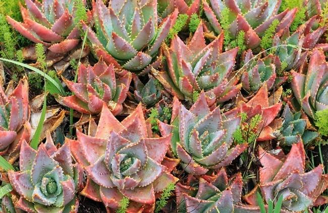 Aloe brevifolia, Short-leaf aloe (Gardenia.net)