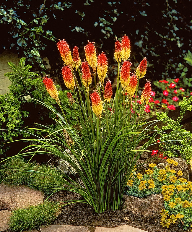 Kniphofia, Red hot poker or Torch lily (Bakker)