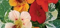 Nasturtiums (Burpee Seeds) for Napa Master Gardener Column Blog