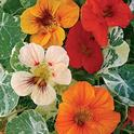 Nasturtiums (Burpee Seeds)