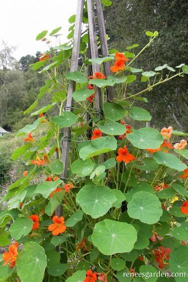 Climbing nasturtium (Renee's Garden)