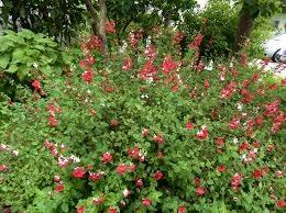 Salvia microphylla bush (anniesannuals.com)