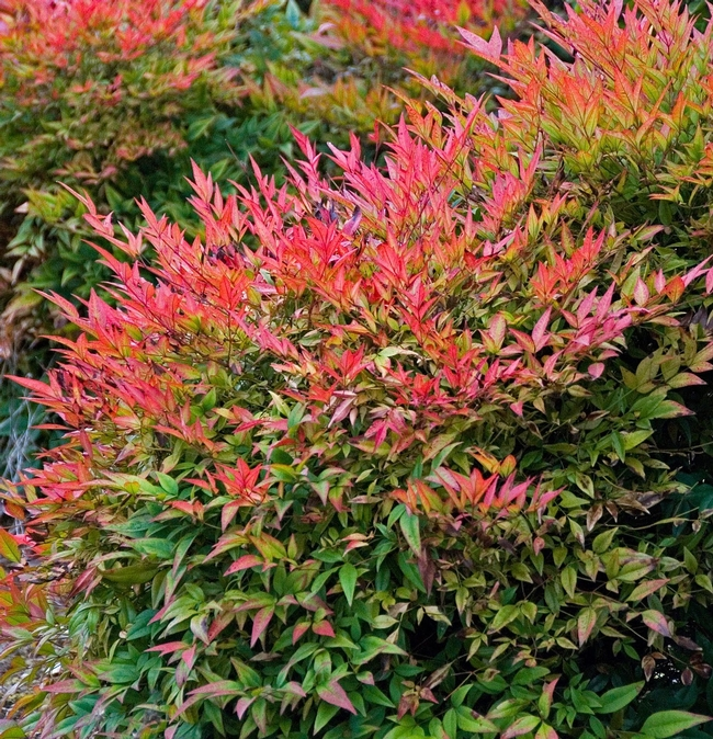 Nandina domestica, Heavenly bamboo, in red (Pinterest)