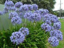 Agapanthus africanus, Lily of the Nile, comes in regular or mini size and comes in colors, too.  (Plants-Fruit Trees)