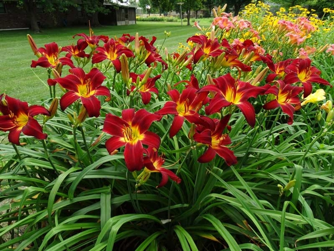 Hemerocallis spp, Daylily, comes in many colors and blossom shapes (Oakes Daylilies)