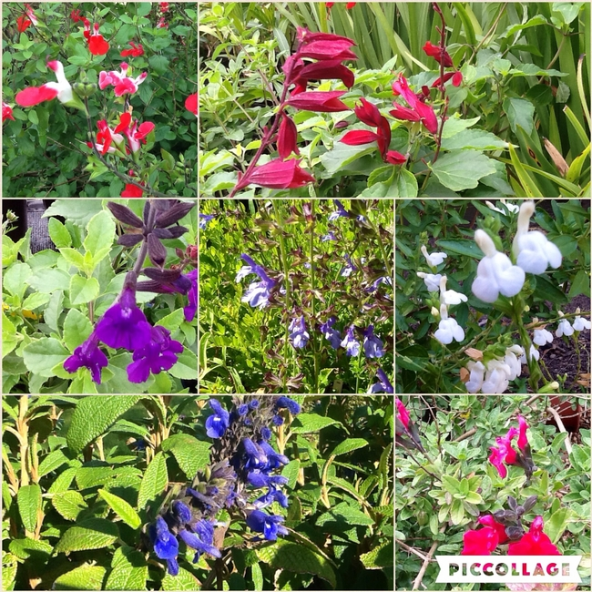 Salvia spp, Sage, many colors, many sizes, many choices (Brenlissa Online Nursery)
