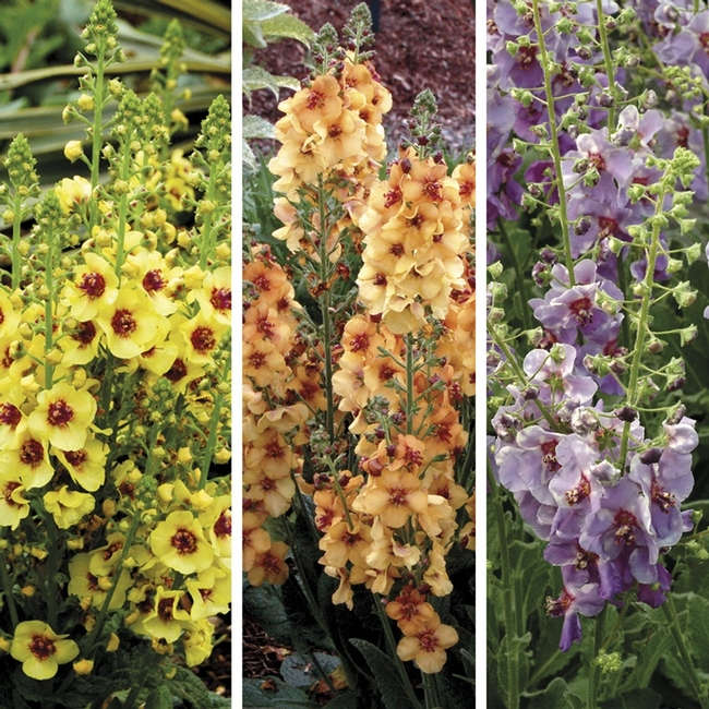 Verbascum spp, Mullein or Velvet plant, color choices! (Wollmans)