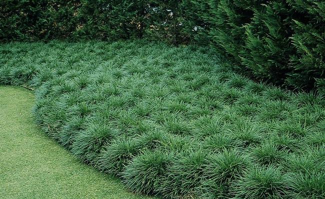 Mondo grass, looks good, tastes good...to gophers (Monrovia)