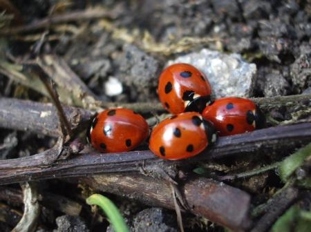 Lady beetle, aka ladybug (UC ANR)