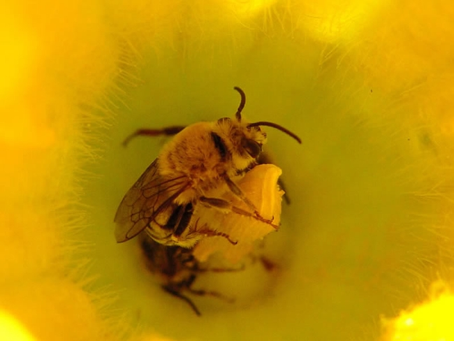 Squash bees really do overnight in squash blossoms.(USDA Forest Service)