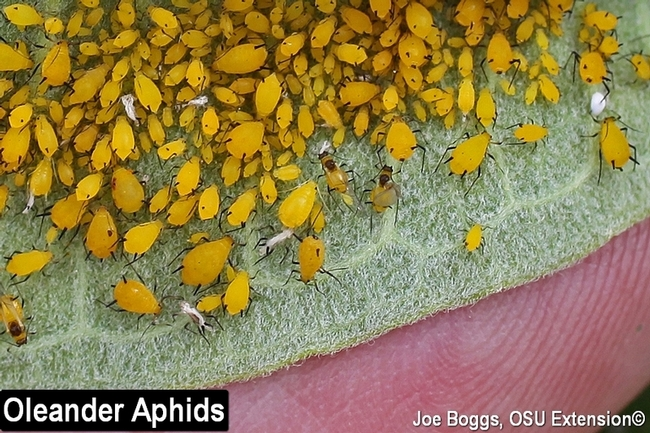 Yellow aphids on milkweed (BYGL, The Ohio State University)