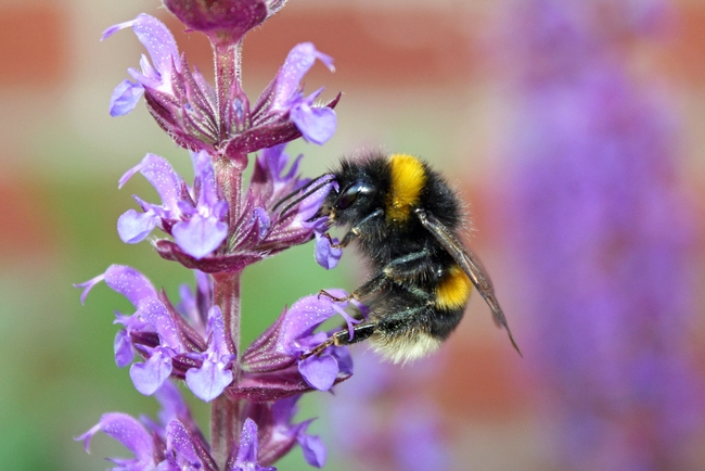 Bumblebee in salvia.  This is just one.  When you have salvia in your garden, you get LOTS of bumblebees.(Flickr)