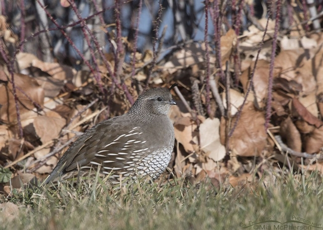 The female California quail does blend in to her surroundings.  (On The Wing Photography)