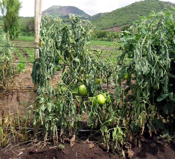 wilted tomato (tomatodirt)