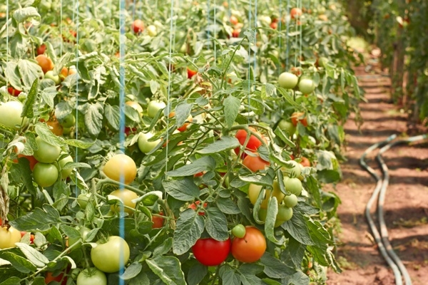 healthy tomato (tailandfur.com)