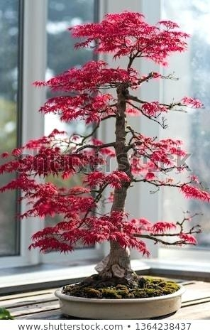Red Mable Bonsai (momenty.co)