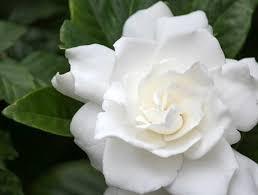 Gardenia (Capgardenia.net)