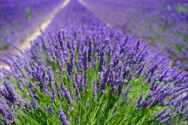 Lavender (oldfarmersalmanac.com)