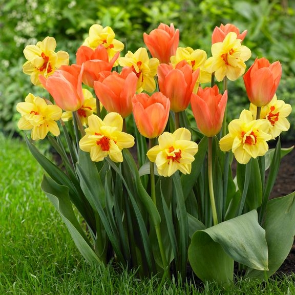 A Spring bouquet of Daffodils and Tulips are an example of true bulbs. (longfieldgardens.com)