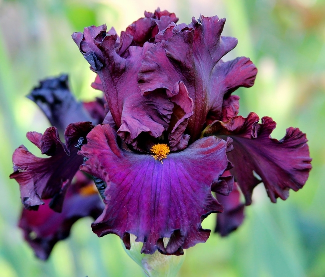 A beautiful Bearded Iris is an example of a rhisome (theamericanirissociety.blogspot.com)