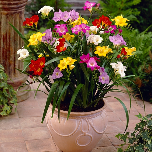 Freesias have an amazing fragrance and are an example of corms