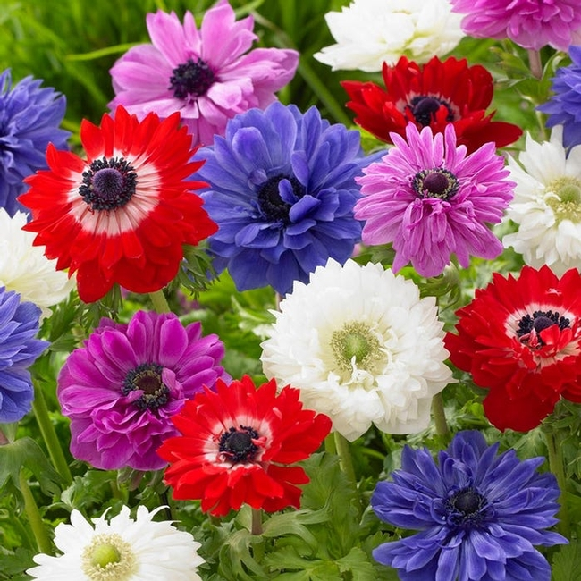 A colorful selection of Anemones are another example of corms. (americanmeadows.com)
