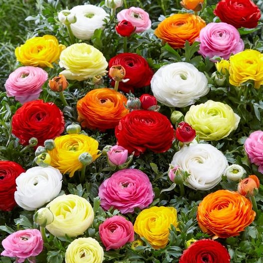 This beautiful Ranuculus Mix are an example of tuberous roots. (edenbrothers.com)