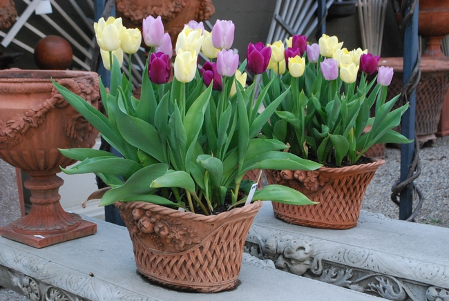 Plant tulips in containers to protect them from gophers. (deborahsilver.com)