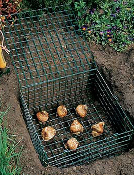 Planting bulbs in wire cages can protect them when planted in the ground. (gardeners.com)