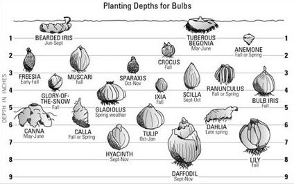 Planting bulbs at the proper depth is an important step for successful blooms (pintrest.com)