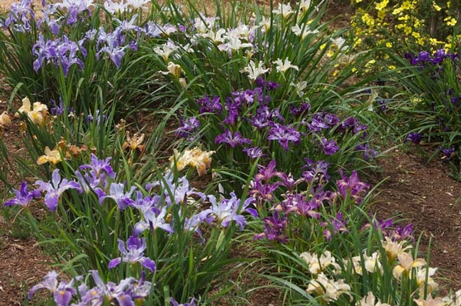 Coast Iris is native to California and is easy to grow. (pacifichorticulture.com)