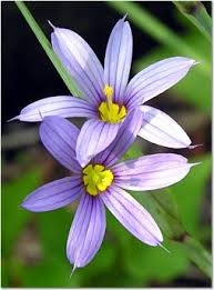Blue-eyed grass is a California native you could add to your garden. (naturenorth.com)