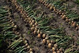 Cultivating Onions (gardenerspath.com)