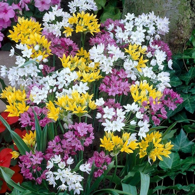 Ornamental Alluim (onions) Rainbow Fireworks Mix (highcountrygardens.com)