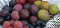 An Assortment of Plums (rhs.org.uk) for Napa Master Gardener Column Blog