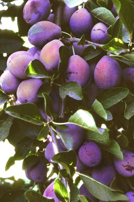French Improved Prune (tomorrowsharvest.com)