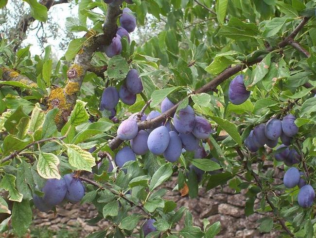 European Prunus Domestica (calphotos.berkeley.edu)