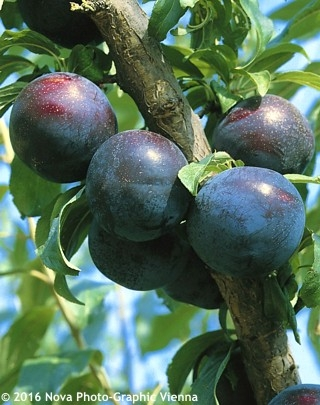 Japanese Prunus Salicina (havlis.cz)