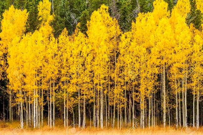 Aspen in fall (123RF)