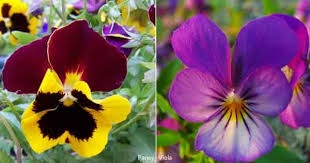 Pansies and violas  can brighten your garden from November to spring.(Plant Care Today)