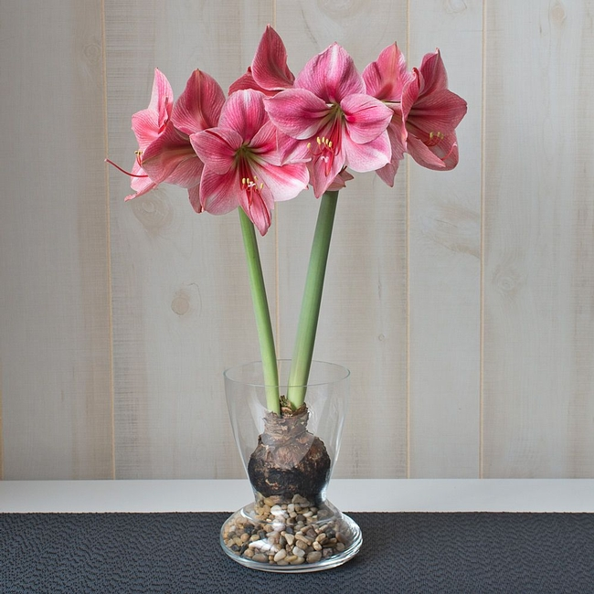 Plan in November for December amaryllis bloom. (White Flower Farm)