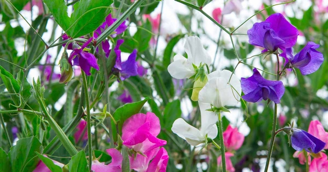 Sweet peas.  ALL parts of SWEET PEAS can be toxic. (Gardener's Path)