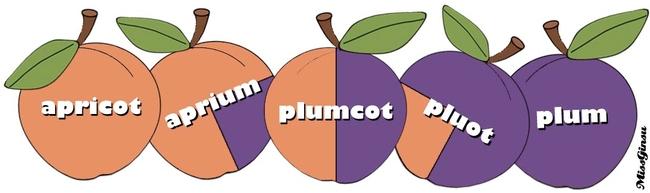 Apricots.Plumcots.Plum (plumcots.com)