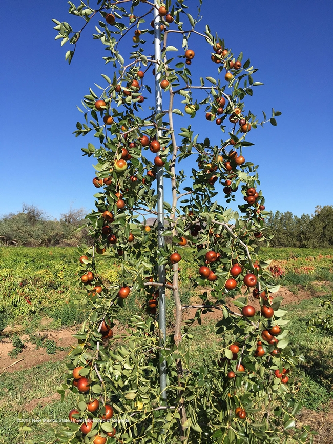 Jujube tree (NMSU ACES)