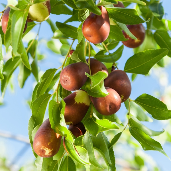 Jujube fruit (Grow Organic)
