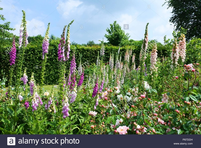 Foxglove comes in tall and short varieties. (Alamy)