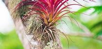 Bromeliad epiphyte in the wild (Pinterest) for Napa Master Gardener Column Blog