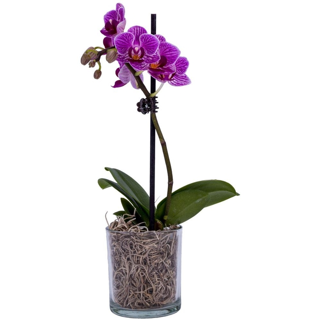 Orchid (Home Depot)
