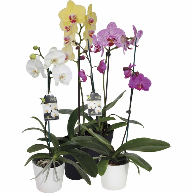 Moth orchid, Phalaenopsis (mitre10.co.nz)